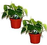 Kletter Philodendron, (Philodendron scandes), Baumfreund, grünes Blattwerk, rankend, Ampelpflanze,...