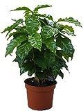 Echter Kaffee Pflanze, (Coffea arabica), Zimmer und Kübelpflanze, (1 Pflanze)