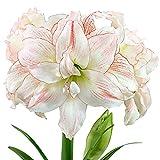 Hippeastrum'Aphrodite'   Amaryllis Zwiebeln   Weiß-rosa Ritterstern   Blumenzwiebel Ø 26-28 cm