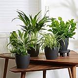 4er Set Luftreinigende Zimmerpflanzen | Vier Grünpflanzen mit Topf | Höhe 25-30 cm | Anthrazit...