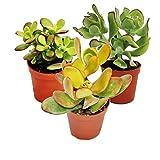 Exotenherz - Geldbaum-Set, 3 verschiedene Crassula-Arten im 5,5cm Topf