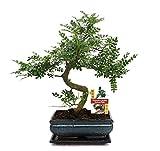 exotenherz - Bonsai Szechuan-Pfeffer - Zanthoxylum piperitum - ca. 10 Jahre