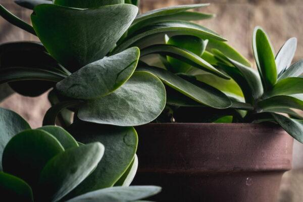 Dracanea Grünpflanze im Topf