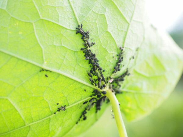Schädlinge an Grünpflanzen und Zimmerpflanzen