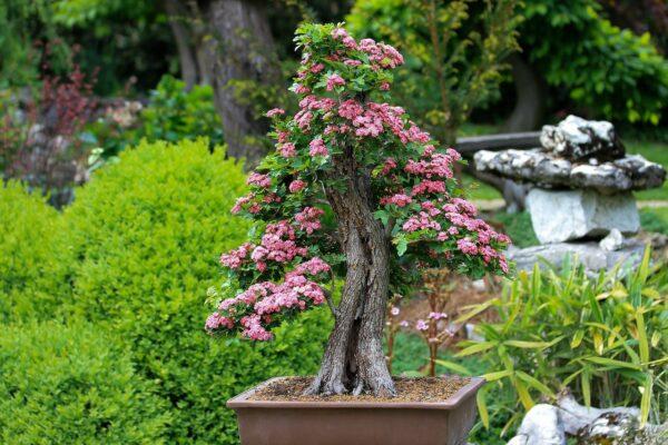 Was hat der Bonsai Baum für eine Bedeutung