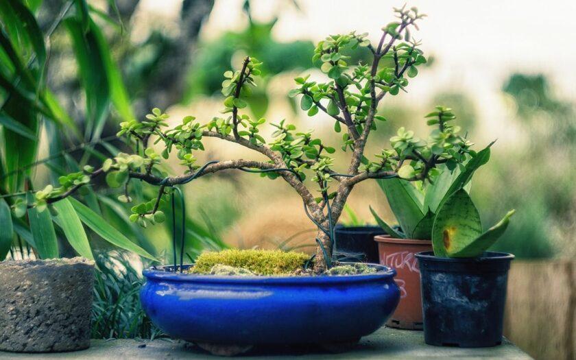 Bonsai Bäume kaufen über das Internet