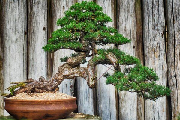 Bonsai Baum pflegen