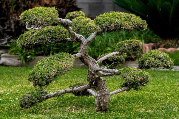 Bonsai Baum vor Ort kaufen