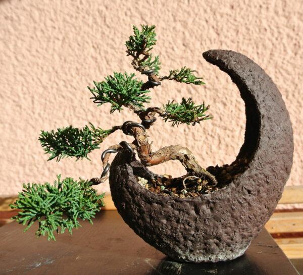 Bonsai Wacholder Mondschale