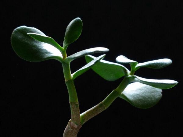 Crassula ovata - Geldbaum