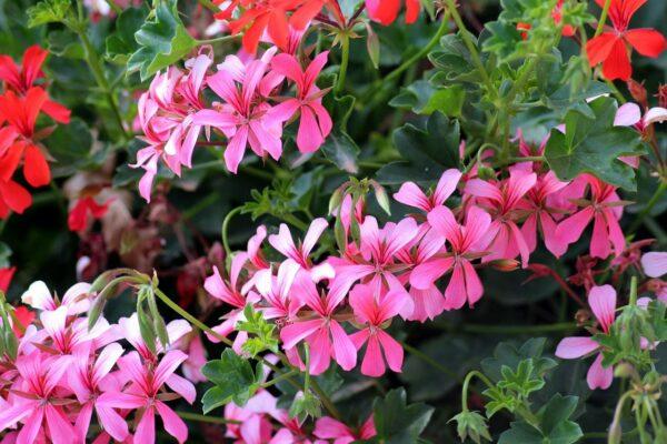 Geranien in voller Blüte in der Sonne