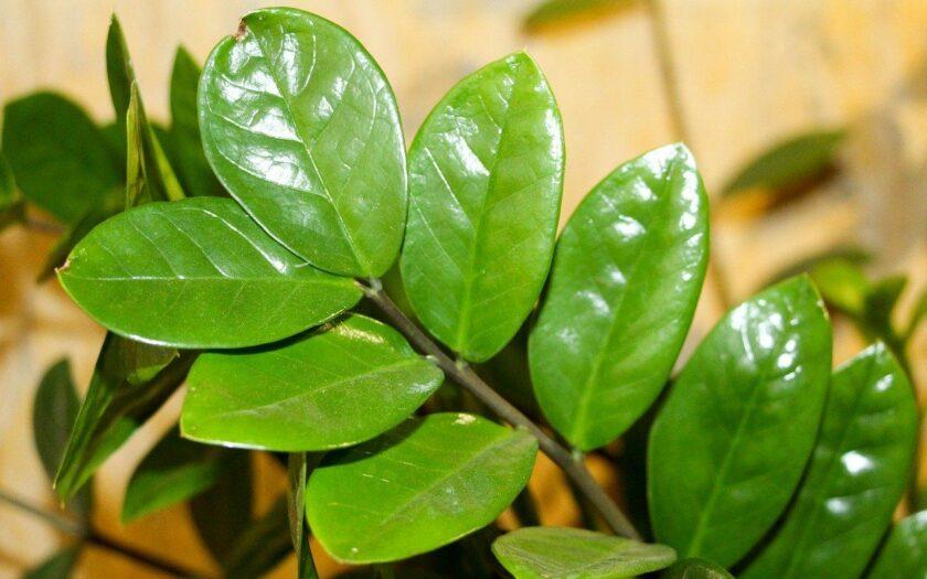 Zamioculcas zamiifolia - Glücksfeder