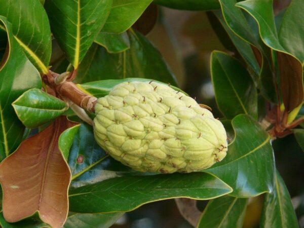 Gummibaum oder Indische Kautschukbaum (Ficus elastica)