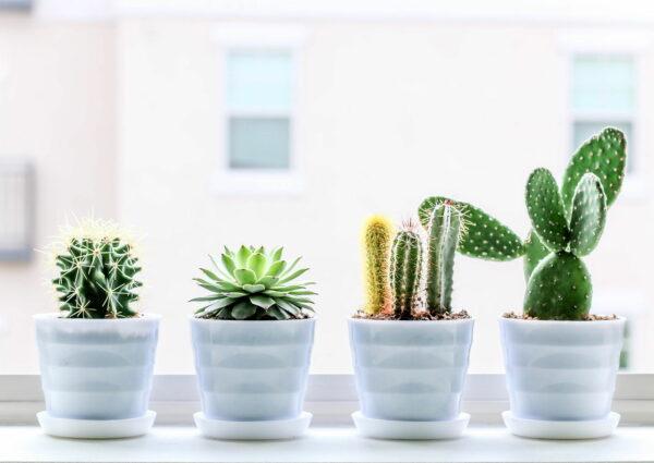 Ist ein Kaktus eine Zimmerpflanze