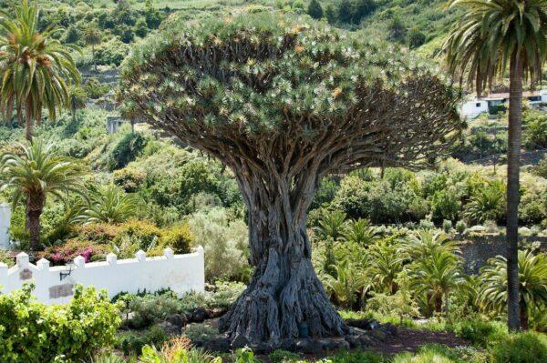 Kanarischer Drachenbaum - Dracaena