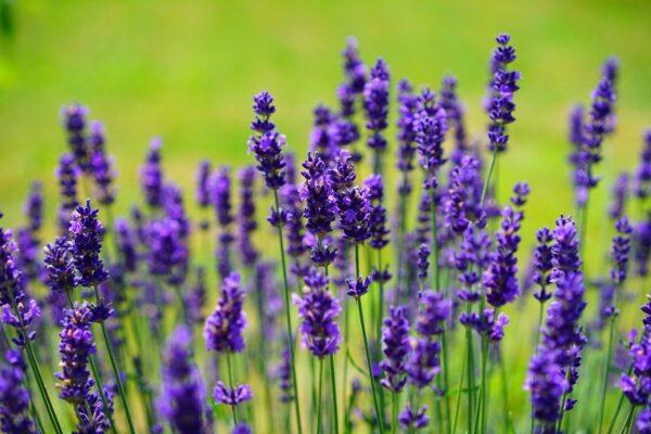 Lavendel als Schutz gegen Mücken