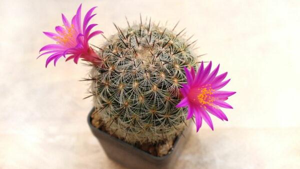 Mammillaria Dodsonii Kaktus blühend