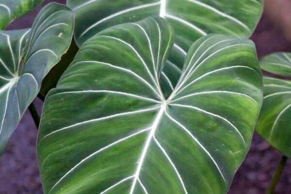 Philodendron Gloriosum Blätter