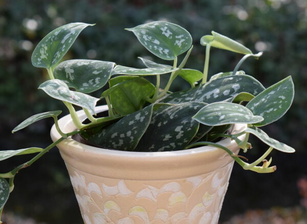 Philodendron Silva Kübelpflanze
