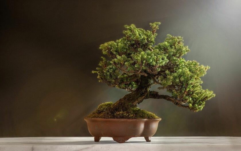 Was kostet ein Bonsai Baum?