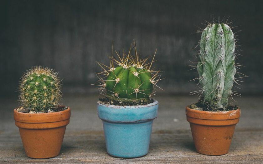 Welcher Kaktus braucht wenig Licht?