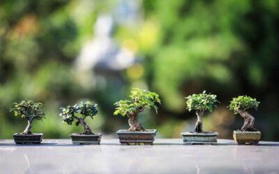 Wie entstehen Bonsai Bäume