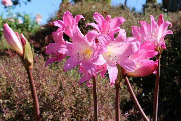 Amaryllis belladonna als Zimmerpflanze