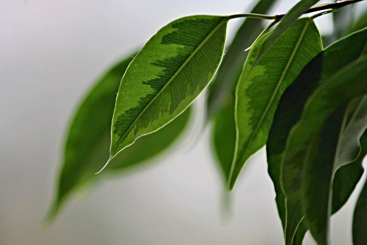 Birkenfeige, Ficus benjamina, Blätter