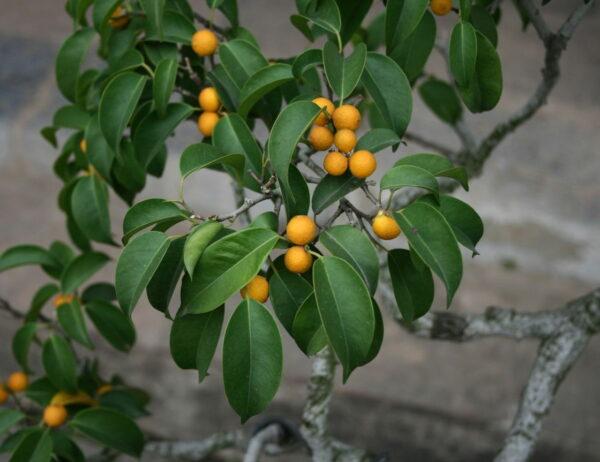 Birkenfeige - Ficus benjaminaals Zimmerpflanze