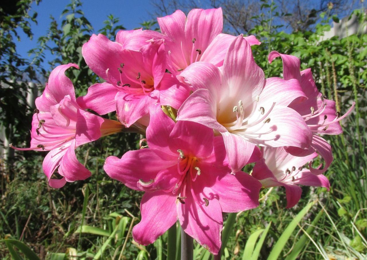 Belladonnalilie - Amaryllis belladonna