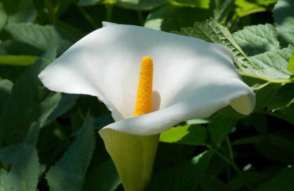 Einblatt als Zimmerpflanze