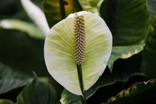Einblatt Spathiphyllum Blüte