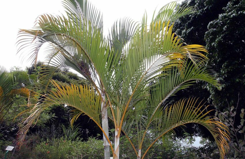 Goldfruchtpalme - Areca-Palme - Dypsis lutescens