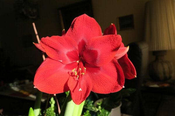 Ritterstern - Hippeastrum als Zimmerpflanze