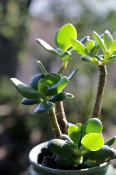 Jadepflanze grüne Blätter