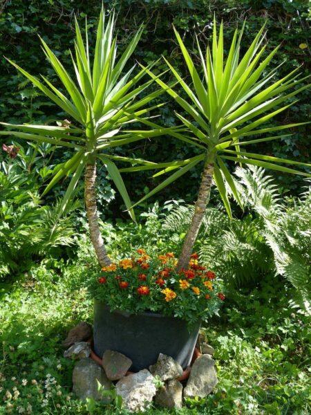 Yucca-Palme als Zimmerpflanze