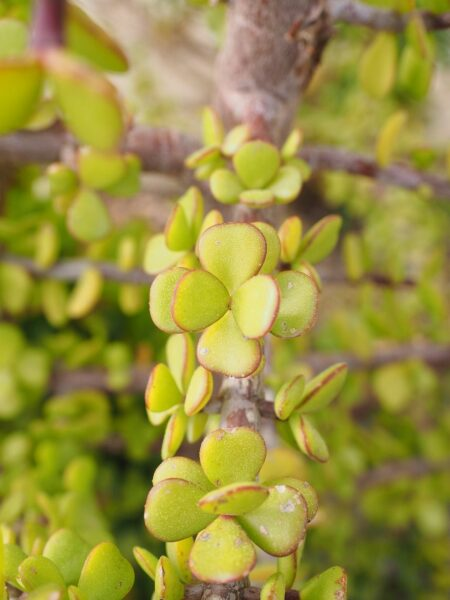 Geldbaum Blätter