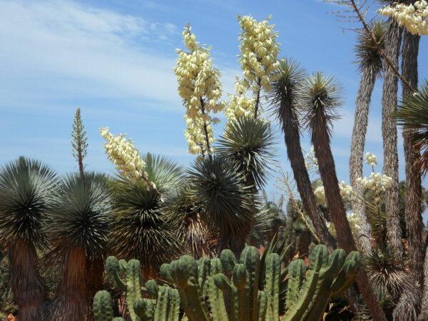 Yucca-Palme - Riesen-Palmlilie - Yucca elephantipes