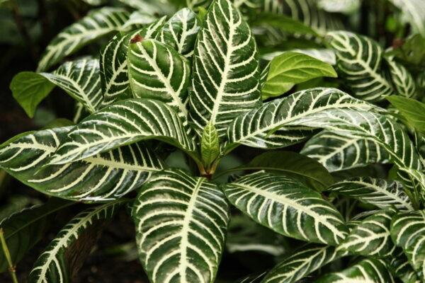Korbmarante - Calathea Zebrina